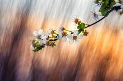 Spring (Psztor Andrs) Tags: tree nature lens photography soap nikon hungary dof projector blossom bokeh grlitz bubble bloom shallow dslr leafs f28 meyer andras 80mm pasztor d5100 diaplan