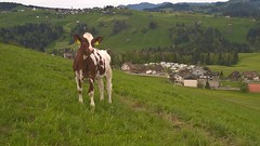 Red Holstein (HeiAld) Tags: red animals schweiz switzerland cow rind suisse swiss sony 6000 alder holstein vieh heini ilce hemberg neckertal jungvieh tggenburg