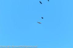 HawkRedtail 31_DSC5531.jpg (orig_lowolf) Tags: usa birds oregon backyard nikon flickr hawk crow attacking redtailhawk lakeoswego d300s sigma150500mmf563afapodgoshsmtelephotozoom