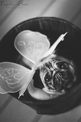 Fairy Pug (tequilashots_photography) Tags: nottingham uk pets cute photography bucket wings pug fairy derby props custome