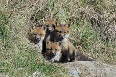 Fearsome Foursome (mike.norkum@gmail.com) Tags: ontario canada ottawa fox kits foxden foxkit