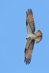 Osprey (Ady G.) Tags: bird scotland wildlife osprey cairngorms 1d4 500f4