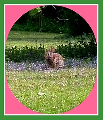 BUNNY STOPS ON THE OTHER SIDE (Visual Images1) Tags: rabbit bunny 6ws bluegrass picmonkey