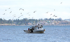 Vang Tau (KaseyEriksen) Tags: ocean seagulls fish beach water birds boat fishing gulls lagoon victoria esquimalt