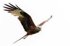 Looking For Food (Unintended_Keith) Tags: nature wildlife raptor highkey berkshire redkite birdinflight maidenerleghlake canon7dmkii sigma150600mms