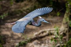 Sailing Tri (cbjphoto) Tags: bird heron photography inflight texas wildlife avian tricolored carljackson
