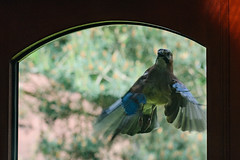 Jay attacking it's own reflection (tobyjm) Tags: reflection bird jay conservatory attacking