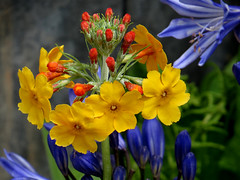Agapanthus & Unidentified Flower - Chelsea Flower Show 2015 (1) (Padski1945) Tags: flowers flower yellow agapanthus chelseaflowershow rhsgardens rhschelseaflowershow chelseaflowershow2015 rhshydehallflowershow2015