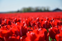 Red rule (Pics4life.nl) Tags: red holland color netherlands nikon bokeh nederland tulip nl tulpen bollenveld