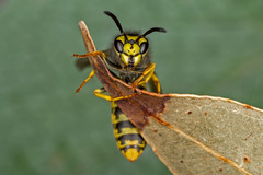 European wasp (affectatio) Tags: macro bug insect wasp 6d mpe65 vespulagermanica europeanwasp canon6d