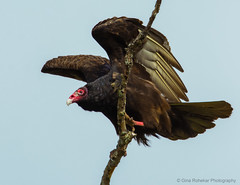 Turkey Vulture (PrettyCranium) Tags: canada bird nature birds animal wildlife vulture turkeyvulture