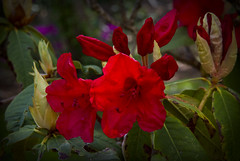 Sunlit Red Rhodies (brucetopher) Tags: light red sunlight plant flower color love beautiful beauty forest garden flora glow warmth bloom glowing radiant redflower redflowers blooming floweringplant