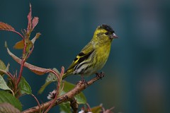 Siskin (Chris*Bolton) Tags: ireland summer tree bird nature birds garden branch wildlife perch perched wicklow siskin perching siskins rathdrum