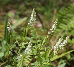 Seneca Snakeroot (Polygala senega Linnaeus) 05-19-2016 Green Ridge SF--Treasure Road, Allegany Co. MD 1 (Birder20714) Tags: plants maryland polygala polygalaceae senega milkworts
