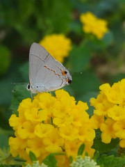 Butterfly on Lantana (LauriusLM) Tags: voyage travel flower color macro fleur yellow jaune butterfly insect mexico photography vacances photo yahoo holidays flickr photographie yucatan papillon wikipedia mexique lonely lonelyplanet monde rivieramaya extrieur couleur insecte nationalgeographic quintanaroo lantanas gettyimage travelphotography googleimage go specanimal photoflickr photosflickr photosyahoo imagesgoogle sonycybershotdschx9v potd:country=fr photogo photogoogleearth papillonlantana