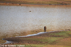 Wild Zwijn (Robbert met dubbel B) Tags: park wild india lake nature wildlife indian safari national april boar zwijn 2016 telia nationaal tadoba wildphotography wildfotografie teliya