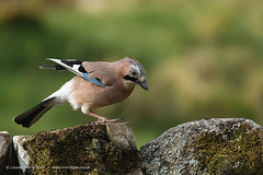 Jay (Louise Morris (looloobey)) Tags: snow sunshine rain hail alan scott scotland moss rocks jay wind rich hide nigel april2016 aq7i8551