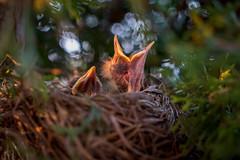 J'ai Faim!! (martinmenard757) Tags: baby macro bird martin bebe oiseau rougegorge menard