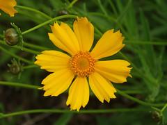 DSC00680 (gregnboutz) Tags: flowers flower macro yellowflower macros springflowers yellowflowers brightflowers macroflowers macroflower bloomingflower bloomingflowers colorfulmacros