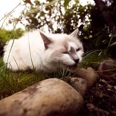 Princess graze in our garden (*hassedanne*) Tags: hss sliderssunday princess ragdoll cat happy summer