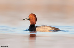 RedHead (Corey Hayes) Tags: wild evening duck spring pond redhead senset coreyhayes