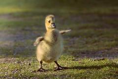 A Star Is Born (FotoByOliver) Tags: baby cute bird nature animal geese nikon sweet goose gans gosling tamron kken d7100