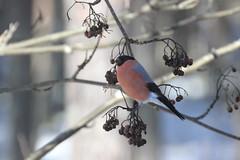 Punatulkku / Bullfinch (Merbiili's) Tags: lintu talvi punatulkku pikkulintu bullfinch winter
