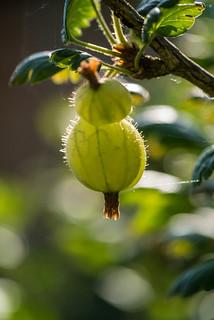 Gooseberry close up!