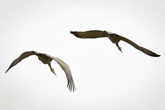 Sandhill Cranes (Ian Threlkeld) Tags: nature birds flying wings nikon flickr bc cranes explore d750 westcoast pnw birdwatching irt sandhillcranes naturephotography pittmeadows nikonphotography nikonphoto explorebc mynikonlife