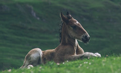 2960 (sul gm) Tags: horse baby green nature grass animal landscape outdoors caballo spain lying len equus castilla potro foal castillalen cra torresto