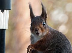 Take a Photo? Now?! (PuffinArt) Tags: norway nikon looking puffinart nikkor eurasian esquilo vr redsquirrel ekorn d300 sciurusvulgaris 18200mm vandamalvig