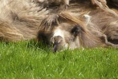 Sleeping Beauty (stebbi84) Tags: travel tourism nature beautiful animal denmark photography camel safaripark knuthenborg bactriancamel