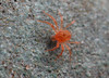IMG_7185 mite (under 0.5mm) on plastic container (tobyjug5) Tags: red london suburban wildlife arachnid tiny minute runningaround 8legs acari