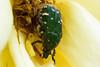 koaohanamuguri_dsc_3432 (takao-bw) Tags: japan insect beetle coleoptera 昆虫 甲虫 flowerchafer ハナムグリ コアオハナムグリ