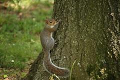 Squirrel (natanps) Tags: nature squirrel esquilo
