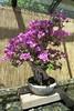 Bougainvillea glabra Bonsai (Patricia Henschen) Tags: flowers garden japanesegarden colorado denver bougainvillea bonsai denvercolorado glabra denverbotanicgardens