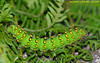 saturnia pavonia - chenille - Perpignan de la grave (34) (michel-candel) Tags: grave de la saturnia 34 perpignan chenille pavonia