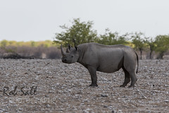 Black Rhinoceros (robsall) Tags: africa vacation canon mammal rhino endangered 500mm namibia canoneos blackrhino blackrhinoceros 2015 criticallyendangered dicerosbicornis oshikoto canon500mmf4 browserhinoceros 7dmarkii canon7d2 canon7dmarkii browserhino canon7dmark2 robsallphotography 7dm2 7dmark2 7dmii canoneos7dmark2 canon7dm2 canoneos7dm2 canon500mmf4lii canon500mmf4lisiiusm canon500mmf4ii