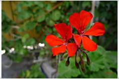 Geranio rojo...P1140100EP (gtercero) Tags: rojo geranio gtercero 20160604