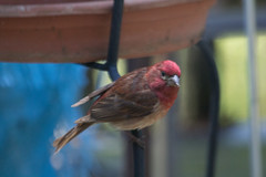 IMG_2041 (armadil) Tags: bird birds backyard finch purplefinch