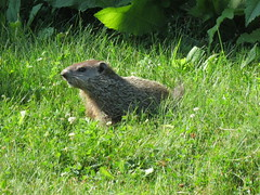 Groundhog (jdf_92) Tags: indiana woodchuck groundhog bloomington marmotamonax blinetrail