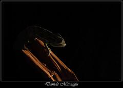 Nell'ombra (Daniele Marongiu) Tags: wild macro animal closeup reptile camouflage climber predator chameleon animale coldblood camaleonte mimetismo rettile predatore arrampicatore selvaggio sanguefreddo bordodiunafoto