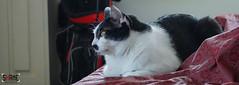 Morning Survey (Shane Hebzynski) Tags: red cat sheets indoors tuxedo housecat