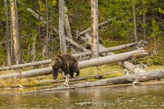 A well balanced bear (ChicagoBob46) Tags: grizz grizzly grizzlybear bear yellowstone yellowstonenationalpark