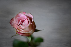 Rose portrait (S.A.photos) Tags: pink light summer plant flower macro art texture textura nature fleur beauty june rose wow garden petals flora focus soft exposure moody perfume dof pastel natur natura depthoffield romantic serene nikkor d3200