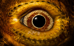 Up All Night (theGR0WLER) Tags: eye vein blood pupil reflection red orange yellow black white reflect focused concentration stare shadow contrast canon canonpowershotsx50hs macro lizard