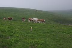 Schneealpe (Harald Reichmann) Tags: kuh weide nebel wiese alm gras steiermark tier weg steig markierung herde schlechtwetter almwirtschaft schneealpe
