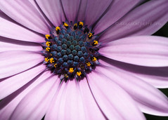 Purple Daisy (.annajane) Tags: flower macro purple daisy africandaisy osteospermum capedaisy