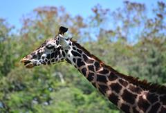 Safari Giraffe (Timfy Mills) Tags: animal animals kingdom disney giraffe nikon28300mm nikond610