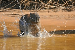 Capybara (Hydrochoerus hydrochaeris) splashing water ... (berniedup) Tags: capybara portojofre poconé pantanal riosãolourenço taxonomy:binomial=hydrochoerushydrochaeris hydrochoerushydrochaeris